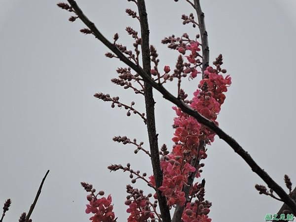 紅花鐵刀木20150411(1)