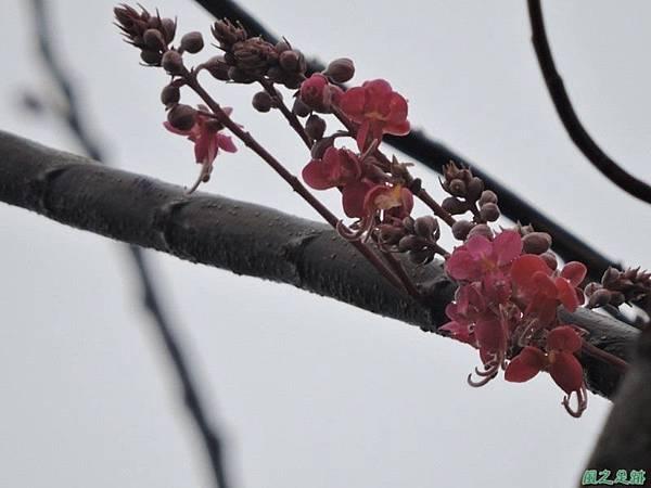 紅花鐵刀木20150411(10)