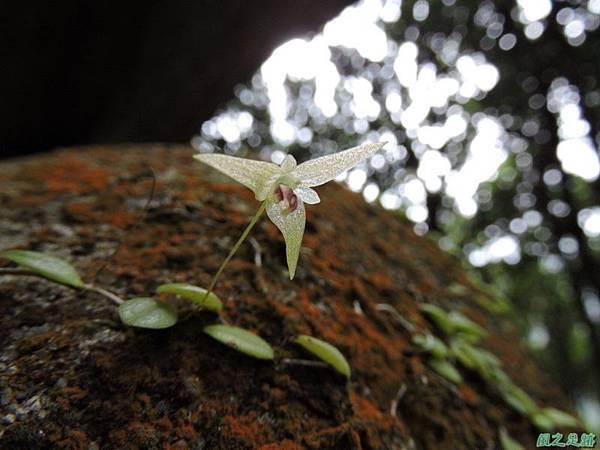 狹萼豆蘭20150509(1)