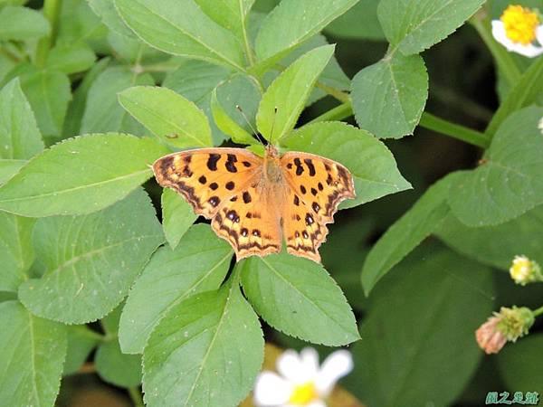 黃蛺蝶20150517 (4)