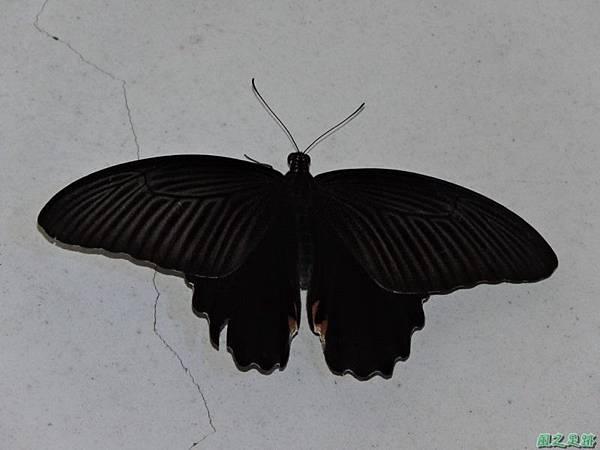 黑鳳蝶20150702(1)