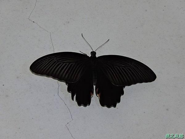 黑鳳蝶20150702(2)