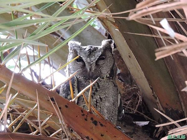 領角鴞20150824(4)