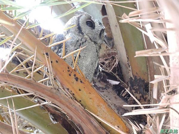 領角鴞20150824(16)
