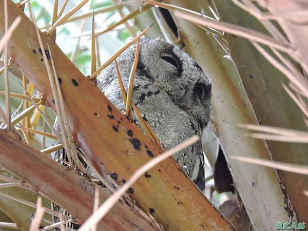 領角鴞20150824(17)