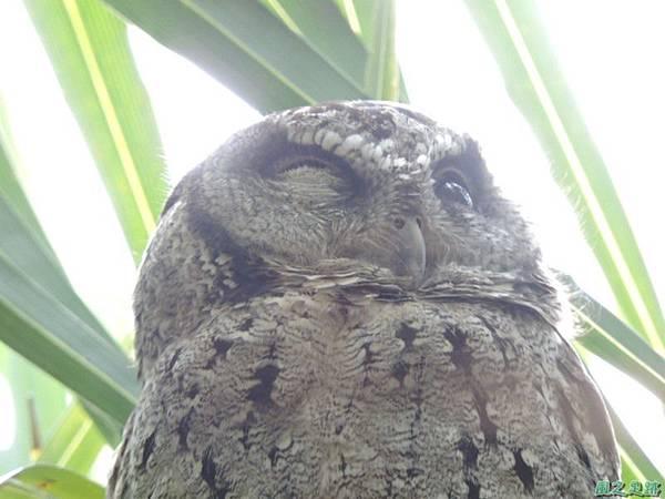 領角鴞20150824(22)