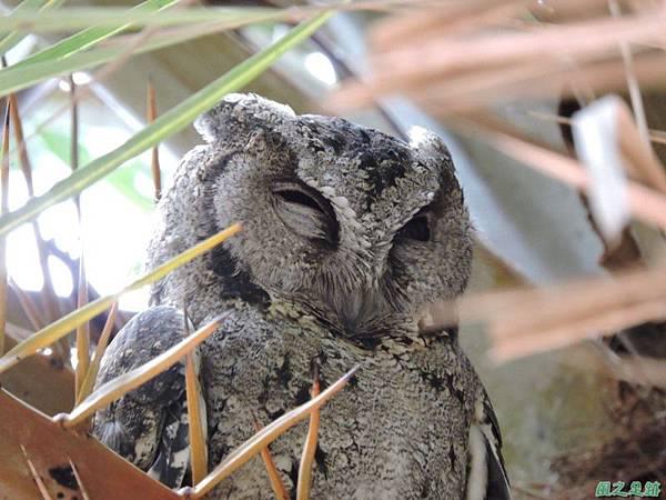 領角鴞20150824(23)