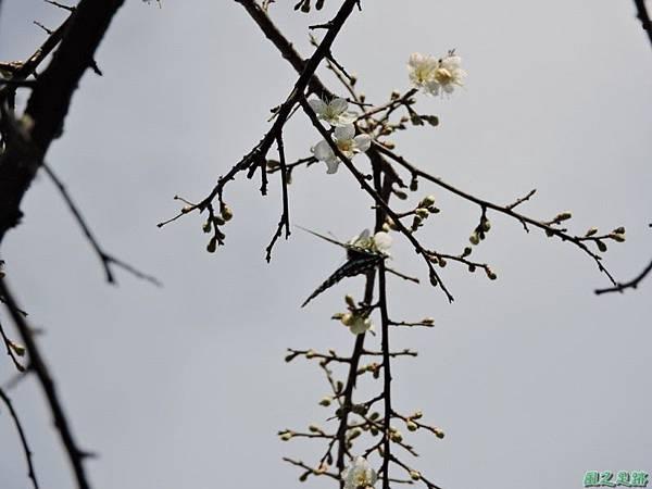 角板山梅花季20160116(41)