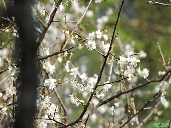 角板山梅花季20160116(40)