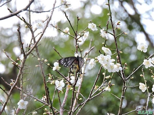 角板山梅花季20160116(66)