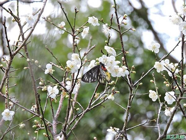 角板山梅花季20160116(67)