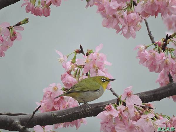 櫻花與綠繡眼(8)