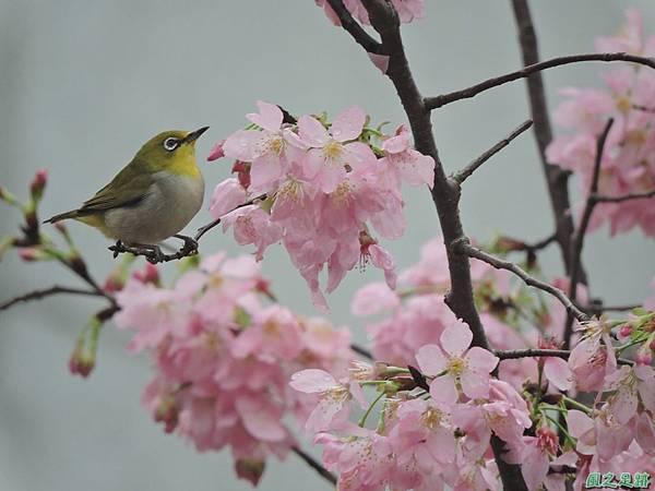 櫻花與綠繡眼(10)