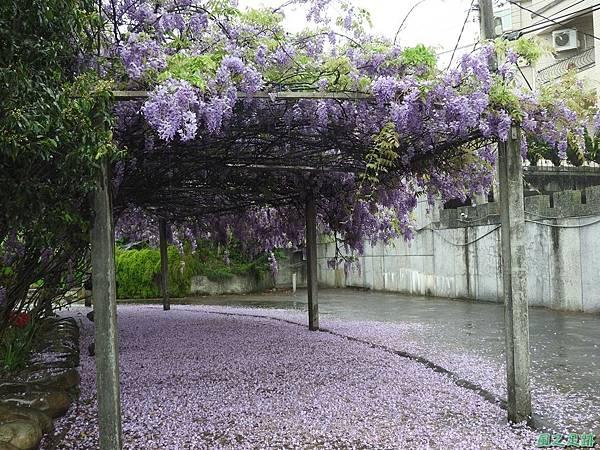 紫藤花20160410(1)