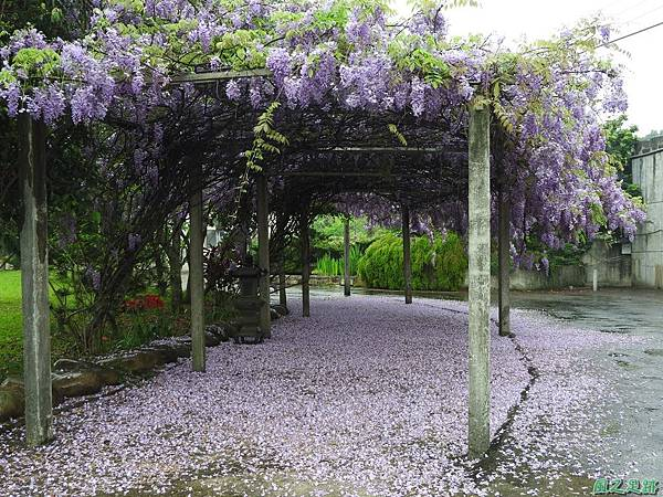 紫藤花20160410(2)