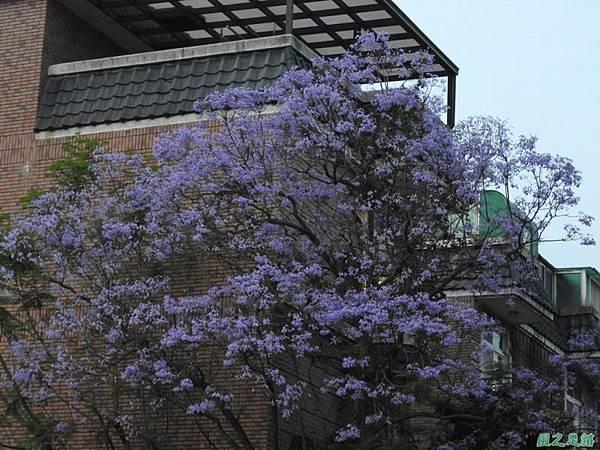 藍花楹20160508(2)