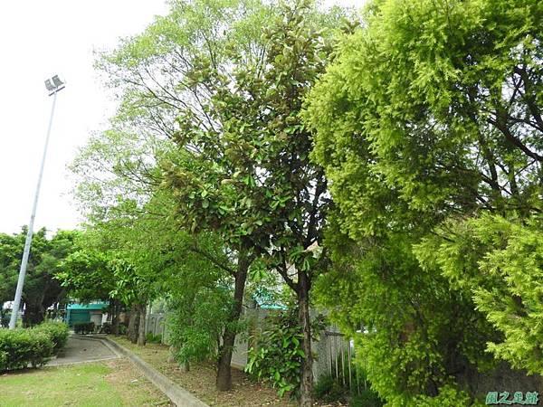20160508銀葉樹(10)