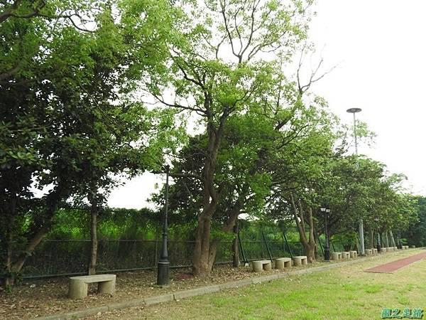 20160508銀葉樹(28)