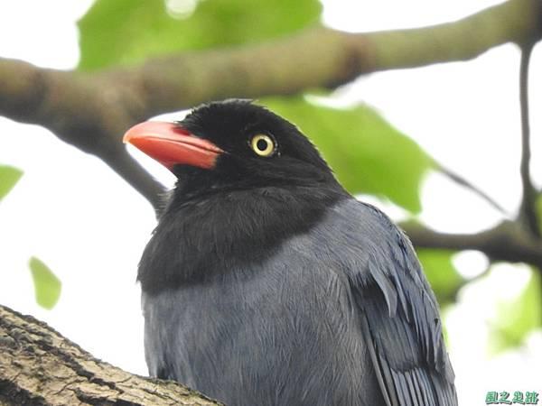 台灣藍鵲20160522(40)