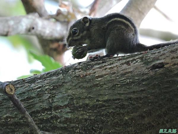 20150912條紋松鼠(2)