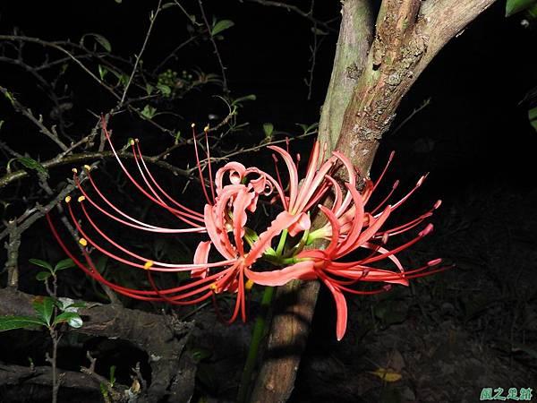 紅花石蒜20160819(1)