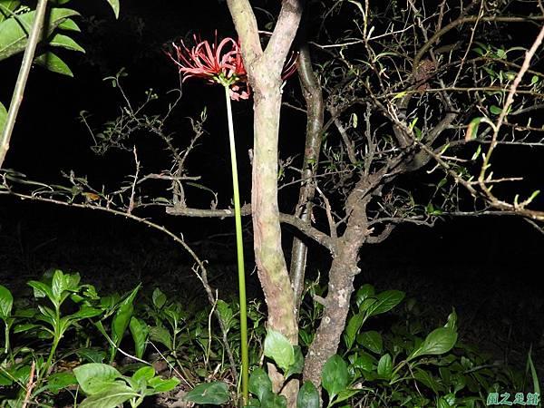 紅花石蒜20160819(9)