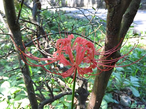 紅花石蒜20160820(2)