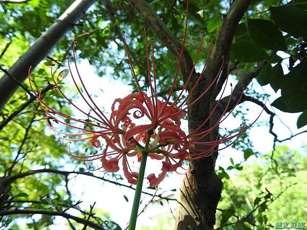 紅花石蒜20160820(4)