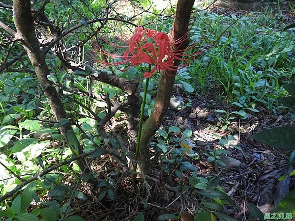紅花石蒜20160820(6)