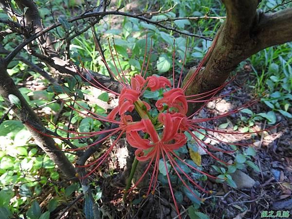 紅花石蒜20160820(7)