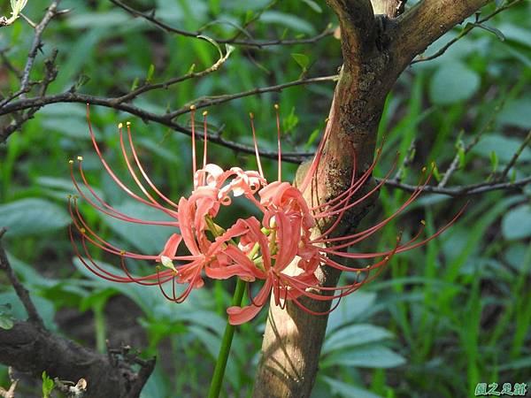 紅花石蒜20160820(14)