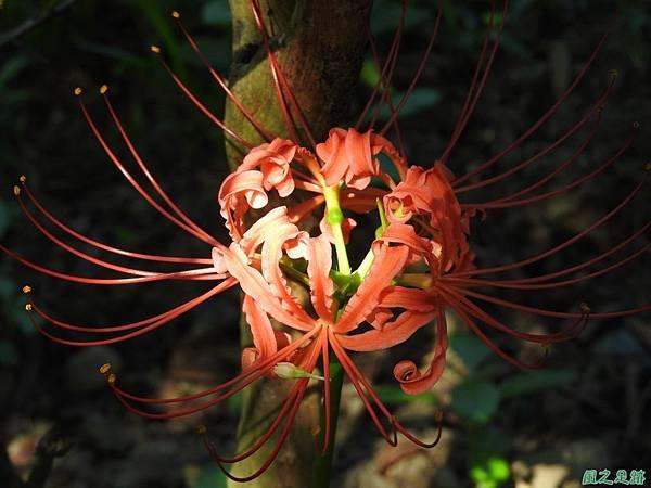 紅花石蒜20160820(18)