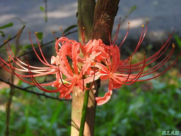 紅花石蒜20160820(19)