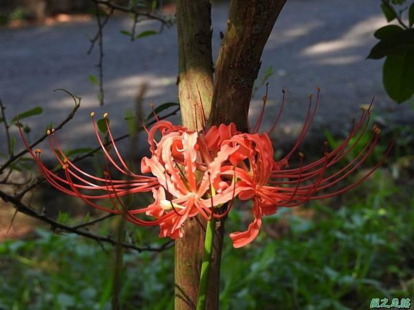 紅花石蒜20160820(20)