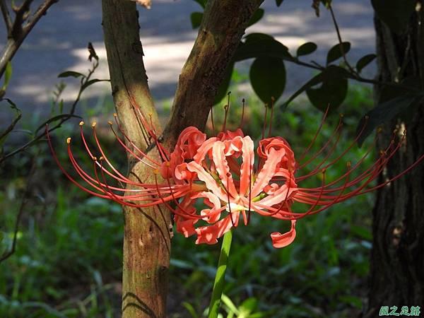 紅花石蒜20160820(21)