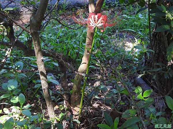 紅花石蒜20160820(23)