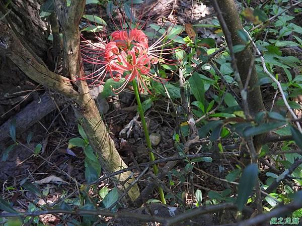 紅花石蒜20160820(26)