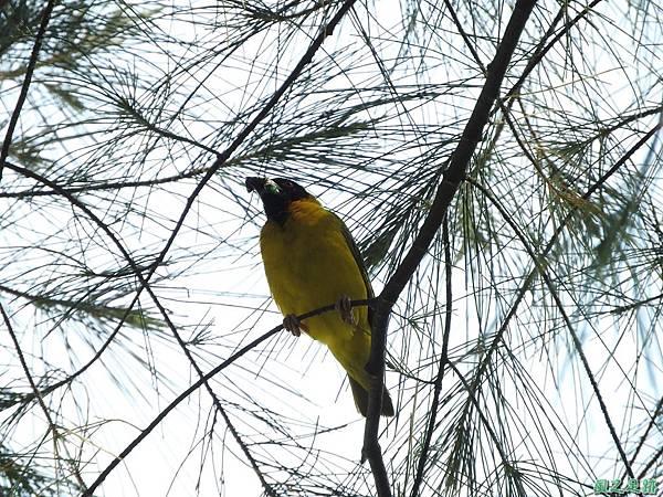 黑頭織布鳥20160827(2)
