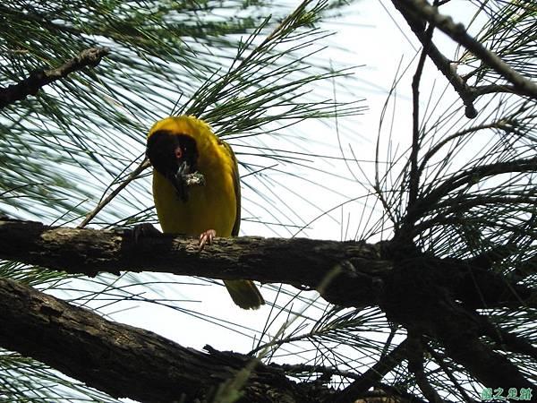 黑頭織布鳥20160827(4)