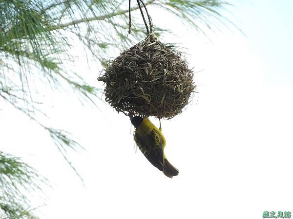 黑頭織布鳥20160827(14)