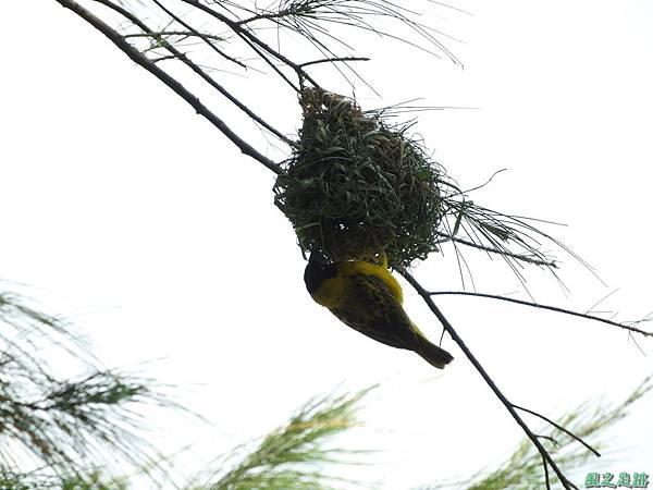 黑頭織布鳥20160827(16)