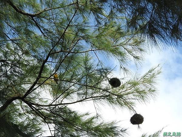 黑頭織布鳥20160827(18)
