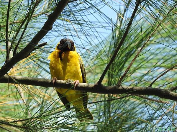 黑頭織布鳥20160827(19)