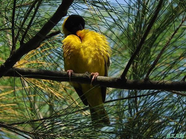 黑頭織布鳥20160827(21)