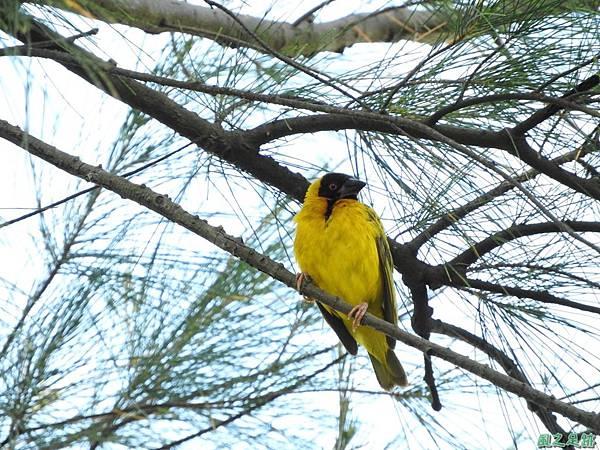 黑頭織布鳥20160827(29)