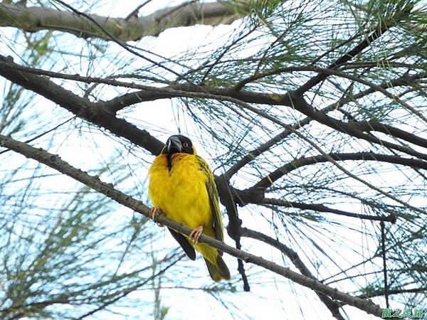 黑頭織布鳥20160827(30)