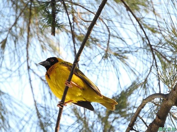 黑頭織布鳥20160827(32)