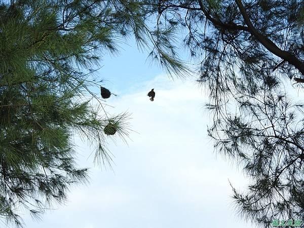黑頭織布鳥20160827(34)