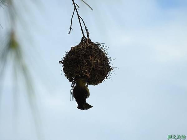 黑頭織布鳥20160827(37)