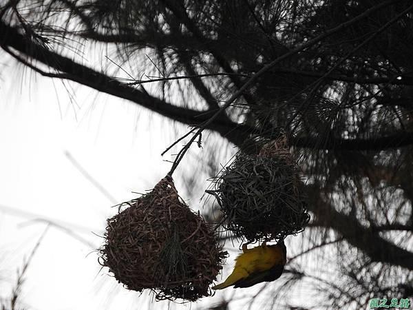 黑頭織布鳥20160827(42)